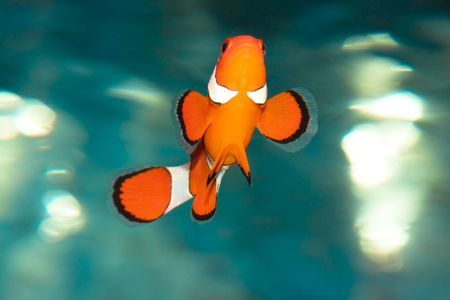 Tropical fish Amphiprion Ocellaris (clownfish) photo