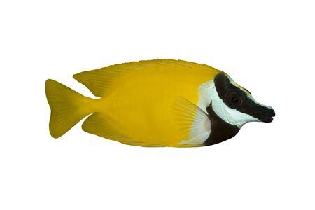 siganus: Tropical Fish Siganus vulpinus isolated on white Stock Photo