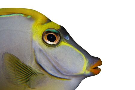 Tropical Fish Naso Tang close up isolated on white photo