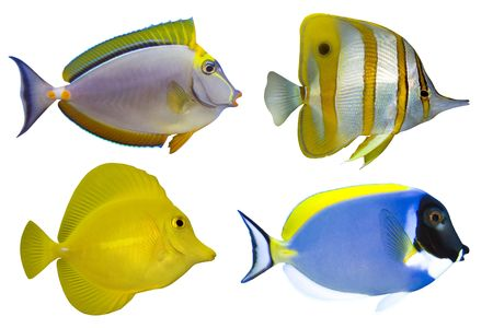 Four Tropical Fishes isolated on white photo