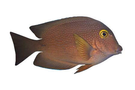 Tropical Fish Ctenochaetus truncatus isolated on white Stock Photo - 2069257