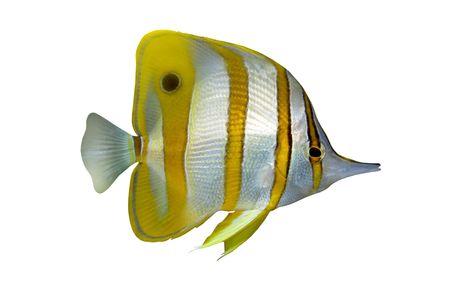 Tropical Fish Chelmon rostratus isolated on white Stock Photo - 2069260
