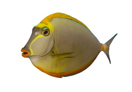 Tropical Fish Naso Tang isolated on white