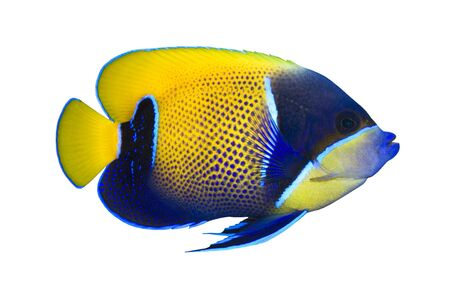 exotic pet: Tropical Fish Pomacanthus navarchus isolated on white