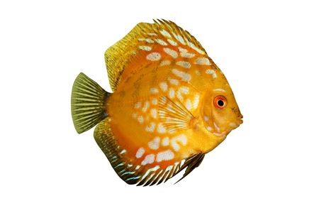 discus: Colorful tropical Symphysodon discus fish isolated on white Stock Photo