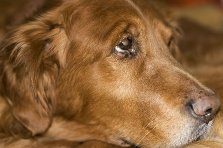 Old golden retriever laying down photo