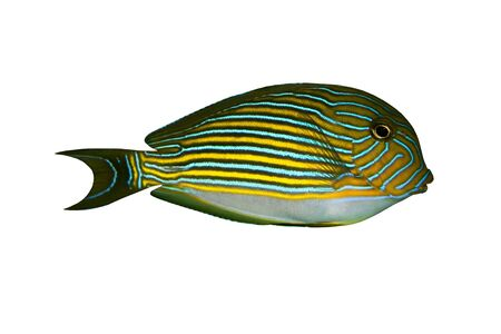 plunging: Tropical Fish Acanthurus lineatus isolated on white