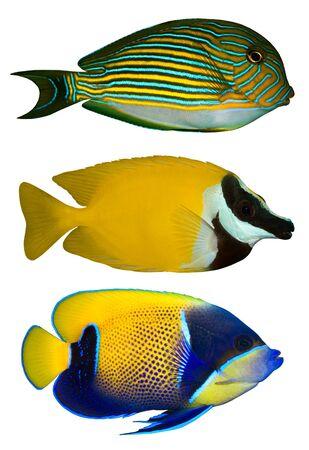 Trzy Ryby tropikalne izolowane na białym Zdjęcie Seryjne