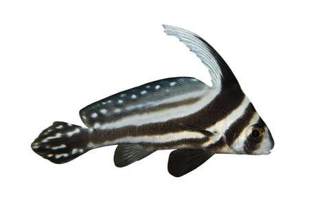 lanceolatus: Tropical fish Equetus lanceolatus isolated on white