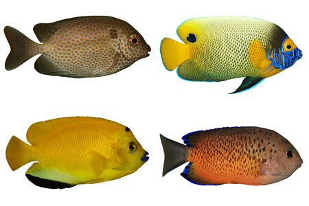 spoted: Four Tropical Fishes isolated on white Stock Photo