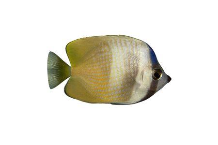 chaetodon: Tropical fish Chaetodon kleinii isolated on white