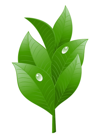 three leaves: Tea leaf on white background. Vector-Illustration Illustration
