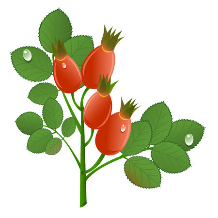 Branch of rose-hips on white background. Vector-Illustration Stock Vector - 4486763