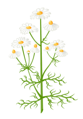 camomile tea: Camomile flowers. Matricaria chamomilla. Vector-Illustration