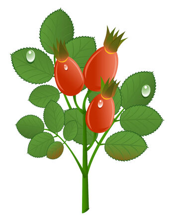 Branch of rose-hips on white background. Vector-Illustration Stock Vector - 4505190