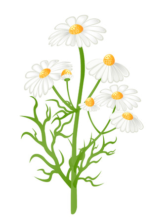 chamomilla: Camomile flowers. Matricaria chamomilla. Vector-Illustration