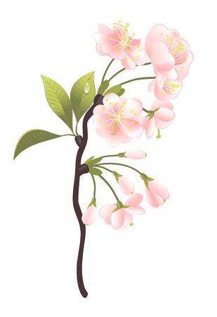 sakura arbol: Sakura �rbol. Ilustraci�n de vector