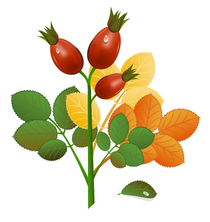 Autumnal Branch of rose-hips on white background. Vector-Illustration Vector