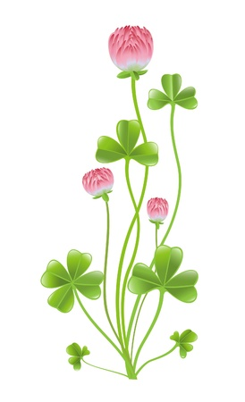 leafed: Clover isolated on the white background.