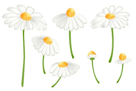 Set of camomile flowers. Matricaria chamomilla Stock Vector - 12928313