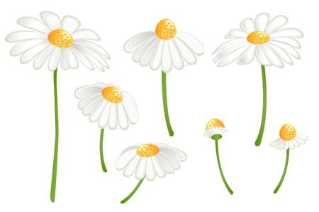 camomile tea: Set of camomile flowers. Matricaria chamomilla