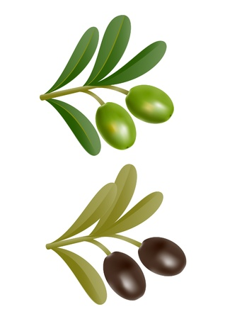 Two green and black olives on branch with leaves Stock Vector - 14162305