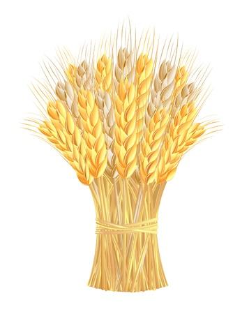 espiga de trigo: Gavilla de espigas de trigo Vectores