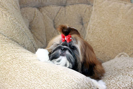 Puppy of a shih-tzu junior  Lies on a chair  Type of a muzzle and eye  photo