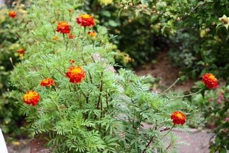 unpretentious: Marigold flowers - Tagetes after autumn rain  Horizontal image