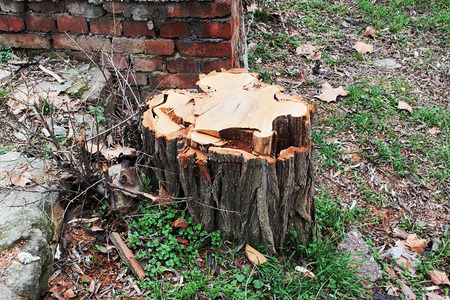 cut off saw: Stump on a background of dirty old brickwork. Horizontal photo. Stock Photo