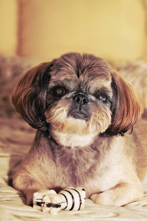 doggie: Small doggie of breed of the Shih-tzu with a striped toy. Stock Photo