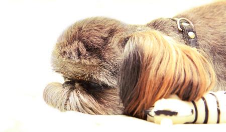 short haired: The head of a little, short haired dog in a profile. Nearby - a favourite toy. Stock Photo