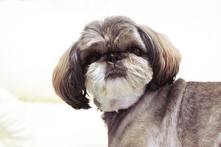 doggie: The small doggie of breed of the Shih-tzu shows a hairstyle.Horizontal photo.