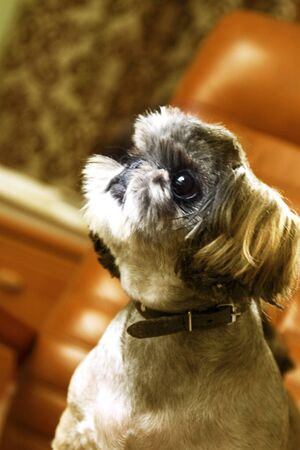 doggie: The small doggie of breed of the Shih-tzu shows a hairstyle. Vertical photo. Stock Photo