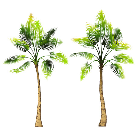 liana: Palm tree