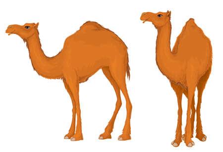 Camel.Dromedary,Illustration isolated on white background. 向量圖像