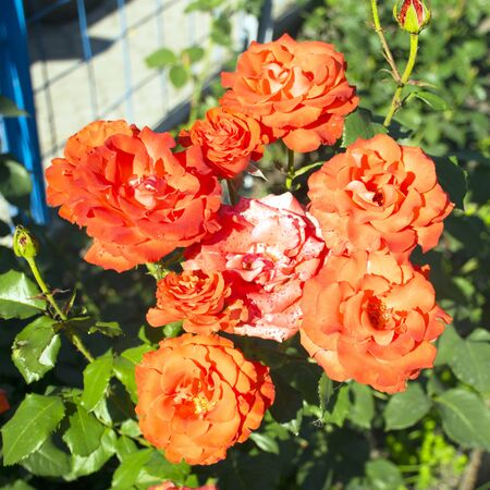 rose disease. garden pests. aphid on flowers. beautiful roses are damaged by pests.