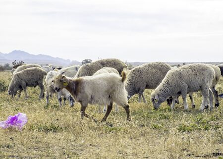 A herd of sheep graze on the meadow in the open air. Garbage on pasture for animals. Sheep eat grass and plastic bags. Death of animals from garbage. Harm animals from humans.
