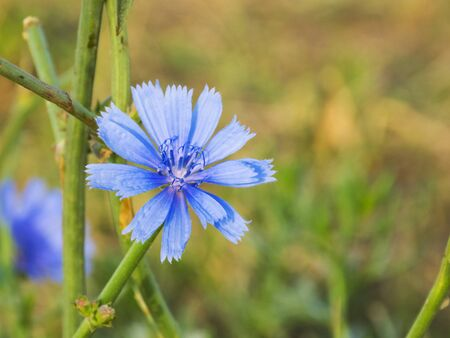 Medical flower chicory. Coffee substitute. Chicory blooms in the meadow. Useful flower.