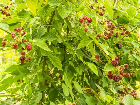 Black raspberry ripened on a branch. Blackberry bush. Harvesting in the fall. Tasty and juicy berry. Useful raspberry. Food for a healthy lifestyle.