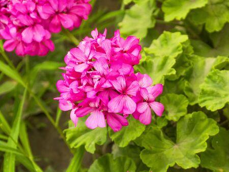 Pink geranium grows in the garden. Flowering geranium. Beautiful garden bush. Fragrant geranium. Beautiful plant for the garden.