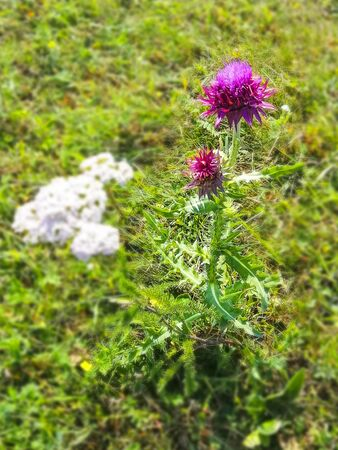 Beautiful purple flower grows in the field. Prickly weed. Beautiful juicy grass. Purple petal. Weed grass. Stok Fotoğraf