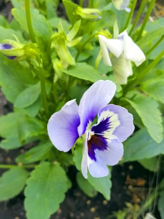 Beautiful bright garden flower. Pansies. Purple petal. Flower for flowerbed.