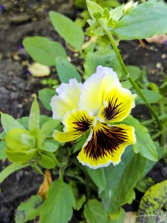 Beautiful bright garden flower. Pansies. Yellow petal. Flower for flowerbed.