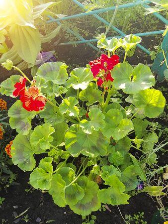 Red geranium. Flower for the garden. Plants for gardening. Imagens