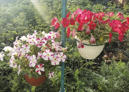 Beautiful petunia flower grows in a pot. Flower for the garden and flower beds. Petunia for gardening. Types of Petunia. Stok Fotoğraf - 132123322