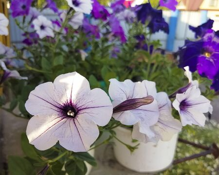 Beautiful petunia flower grows in a pot. Flower for the garden and flower beds. Petunia for gardening. Stok Fotoğraf
