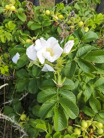 Rosehip bush is blooming. Dog-rose fruit. Beautiful white flowers. Medicinal plant. Stok Fotoğraf
