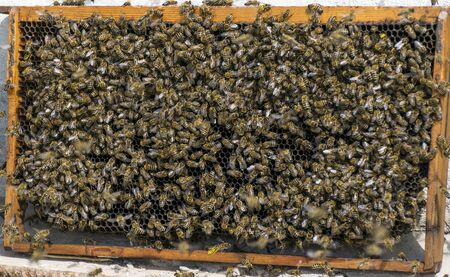 Many bees flew to the honeycomb. Insect bee collects honey. Imagens