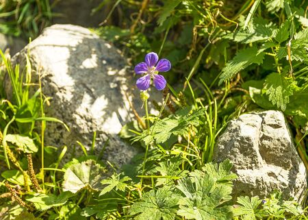 A beautiful purple flower grows in a forest near gray stone. Natural wildlife.